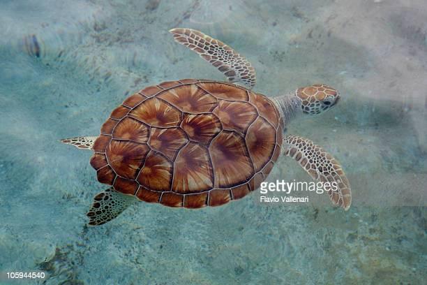 Grüne Meeresschildkröte, Grand Cayman