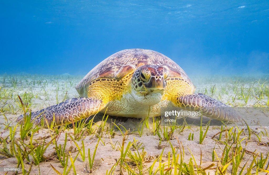 Green Sea Turtle grazing on seagrass bed near Marsa Alam : Stock Photo