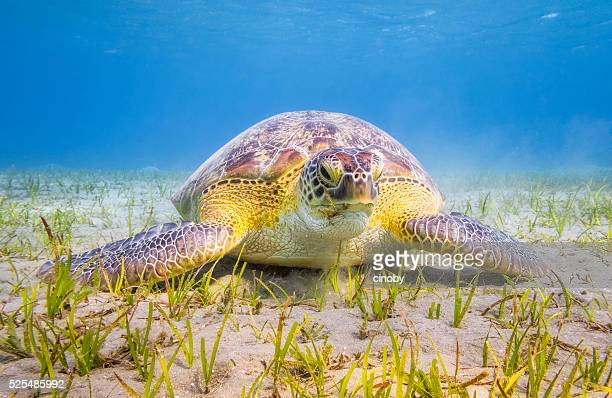 green sea turtle grazing on seagrass bed near marsa alam - green turtle stock pictures, royalty-free photos & images