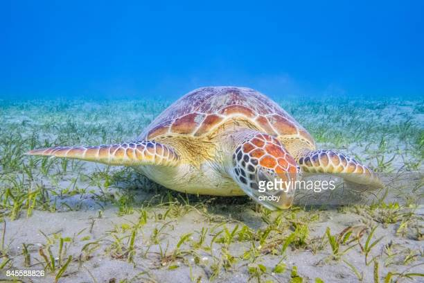 green sea turtle grazing on seagrass beds in red sea / marsa alam - green turtle stock pictures, royalty-free photos & images