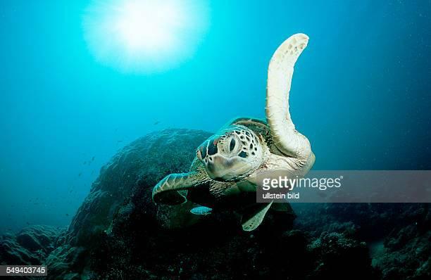 Green sea turtle green turtle Chelonia mydas Malaysia Pazifik Pacific ocean Borneo Sipadan