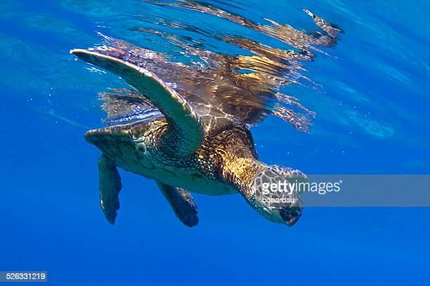 green sea turtle, hawaii, america, usa - kona coast stock photos and pictures