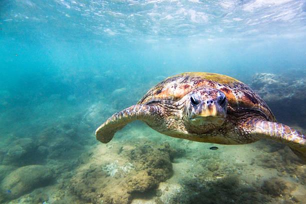 Green Sea Turtle (Chelonia Mydas), Hikkaduwa. Wall Art