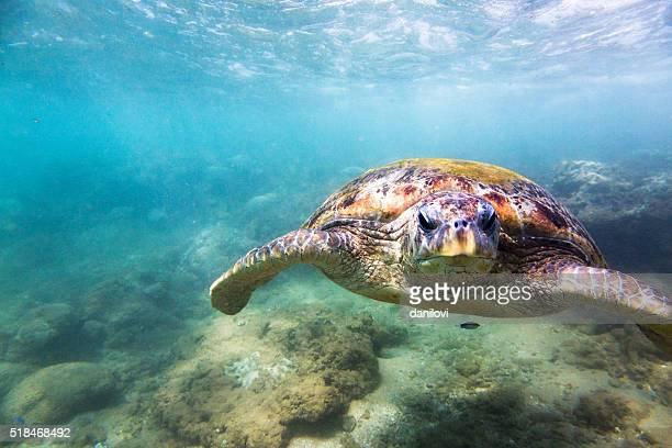 Grüne Meeresschildkröte (Chelonia Mydas), Hikkaduwa.
