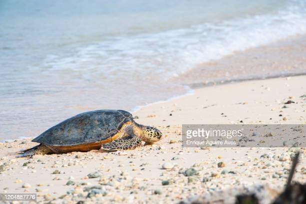 """green sea turtle (chelonia mydas), """"honu"""", midway atoll, hawaii - midway atoll stock pictures, royalty-free photos & images"""