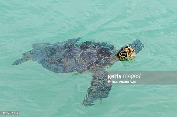 green sea turtle (chelonia mydas), 'honu', midway atoll, hawaii - midway atoll stock pictures, royalty-free photos & images