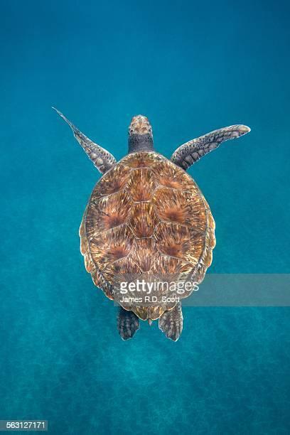 Green Sea Turtle in Canary Islands