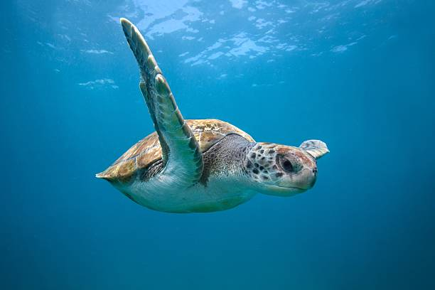 Green sea turtle in Canary Islands