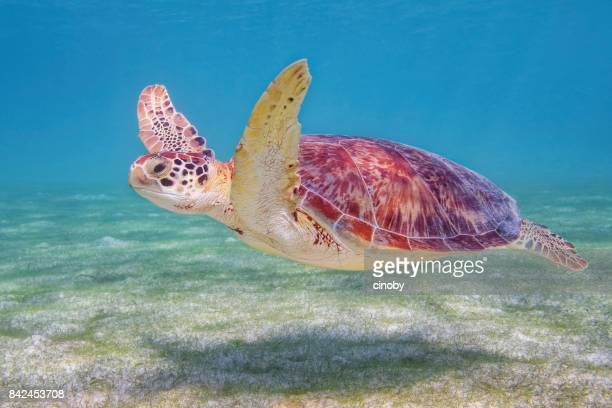 green sea turtle in caribbean sea near akumal bay - riviera maya / cozumel , quintana roo , mexico - mayan riviera stock photos and pictures