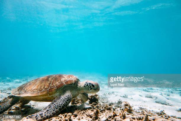 green sea turtle in clear blue tropical water, okinawa, japan - green turtle stock pictures, royalty-free photos & images