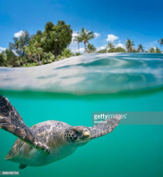 grön havssköldpadda i tropiska vatten - marin livsmiljö bildbanksfoton och bilder