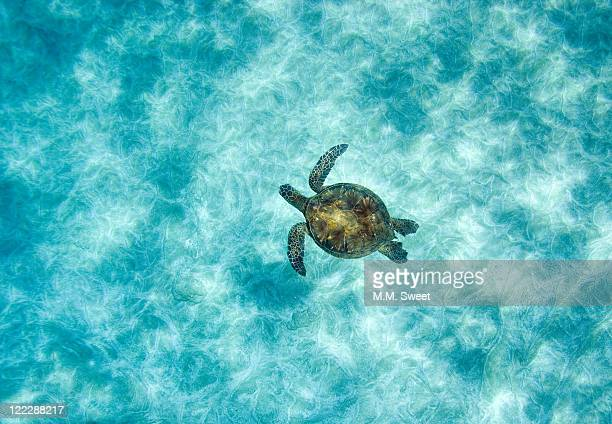 green sea turtle in under water - sea turtle stock pictures, royalty-free photos & images