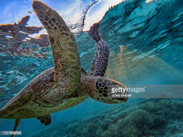 Green sea turtle is flourishing among the corals at lady Elliot island. In the quest to save the Great Barrier Reef, researchers, farmers and...