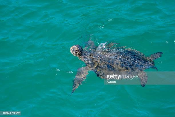 A green sea turtle is swimming in the water of a bay at Genovesa Island in the Galapagos Islands Ecuador