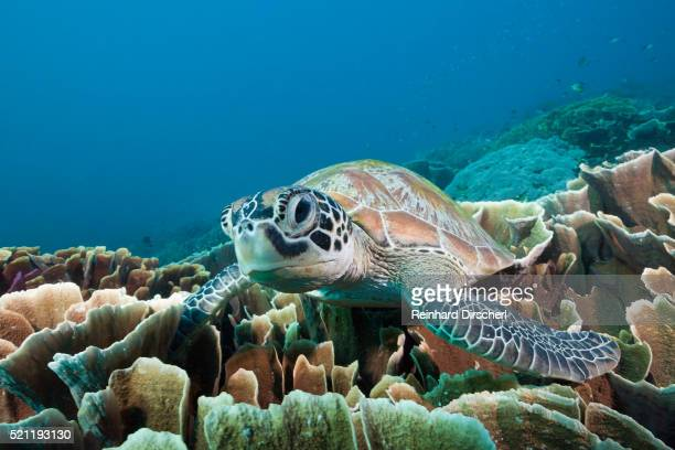 green sea turtle, komodo national park - green turtle stock pictures, royalty-free photos & images