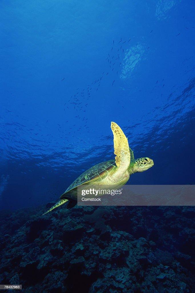Green sea turtle , Malaysia : Stockfoto