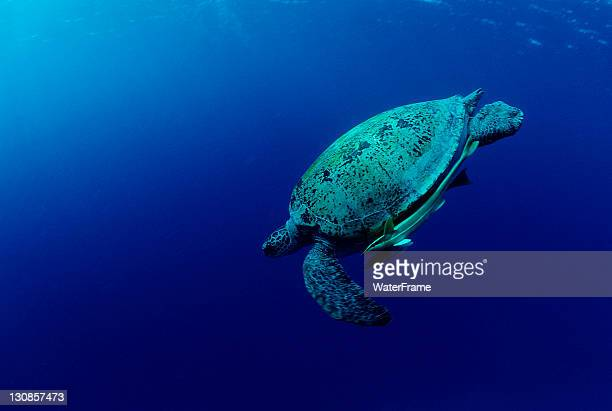 green sea turtle (chelonia mydas), marsa alam, red sea, egypt, africa - green turtle stock pictures, royalty-free photos & images