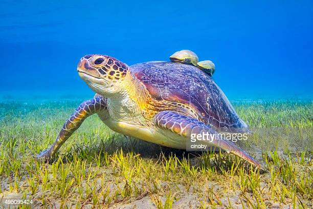 green sea turtle near marsa alam , egypt - green turtle stock pictures, royalty-free photos & images