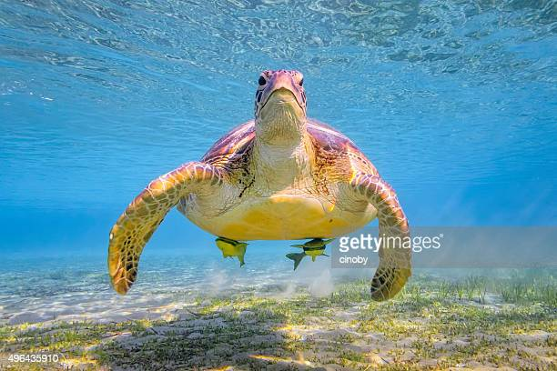 Green sea turtle on Red Sea - Marsa Alam - Egypt