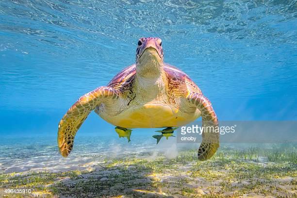 Grüne Meeresschildkröte auf Roten Meer-Marsa Alam/Ägypten