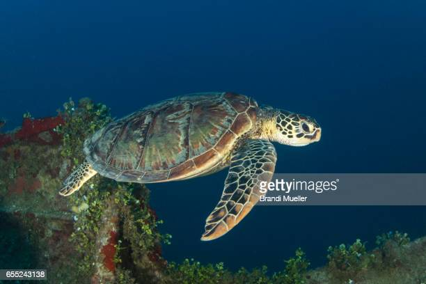 Green Sea Turtle on WWII Wreck
