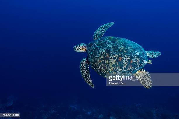 green sea turtle or hawksbill sea turtle - palau - hawksbill turtle stock pictures, royalty-free photos & images
