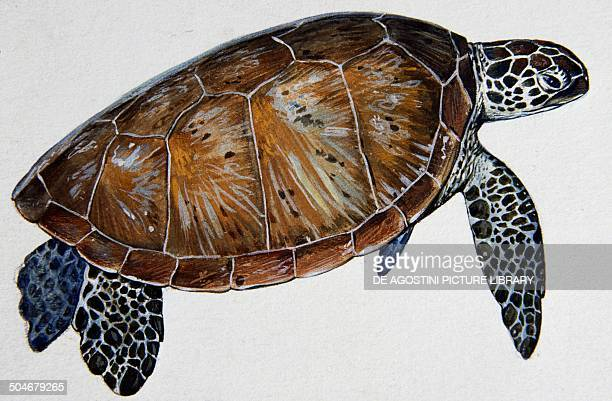 Green sea Turtle or Pacific green Turtle Cheloniidae drawing