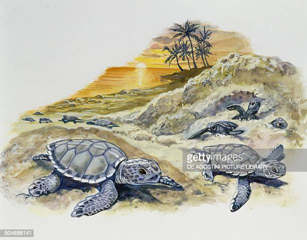 Green sea Turtle or Pacific green Turtle hatchlings on a beach Cheloniidae drawing