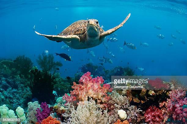 green sea turtle over coral reef - dermoquélidos fotografías e imágenes de stock