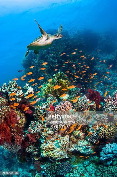 Green sea turtle over coral reef.