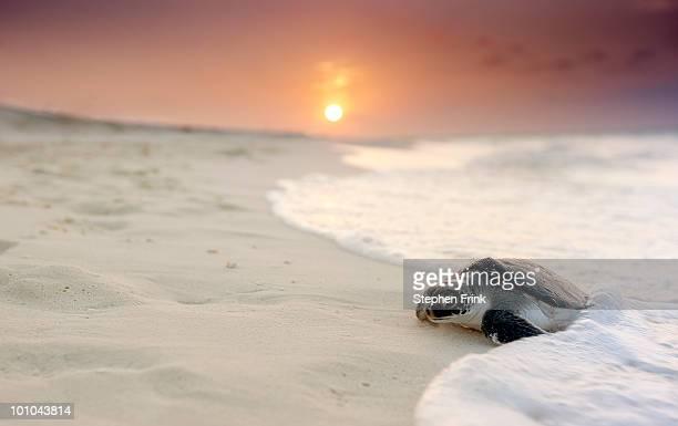 green sea turtle (chelonia mydas) - dermoquélidos fotografías e imágenes de stock