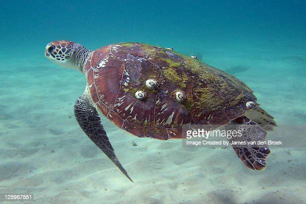 green sea turtle - barnacle stock pictures, royalty-free photos & images