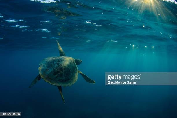 a green sea turtle - biodiversity stock pictures, royalty-free photos & images