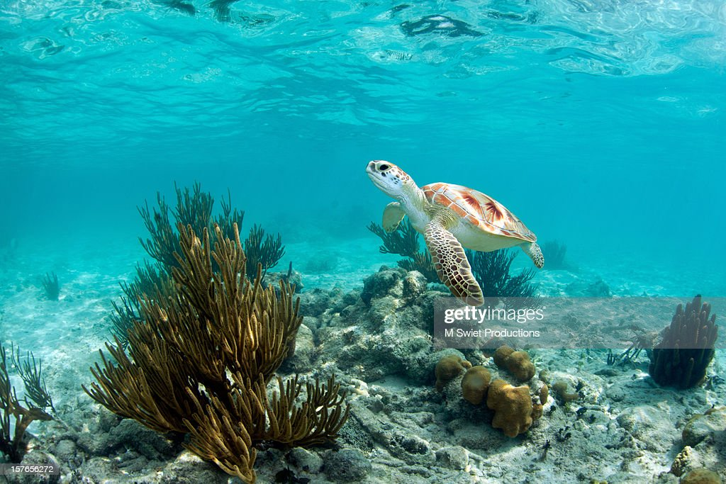 green sea turtle : Stock Photo