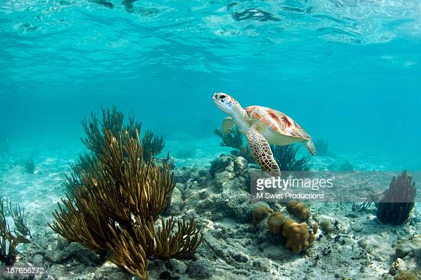 green sea turtle - tulum mexico stock photos and pictures