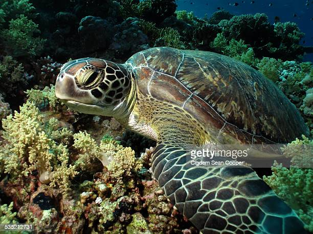 green sea turtle - green turtle stock pictures, royalty-free photos & images