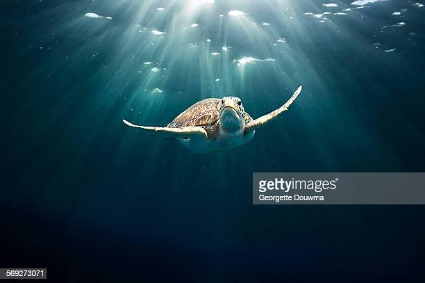 green sea turtle - especies amenazadas fotografías e imágenes de stock