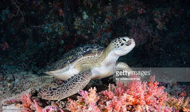 green sea turtle - green turtle stock photos and pictures