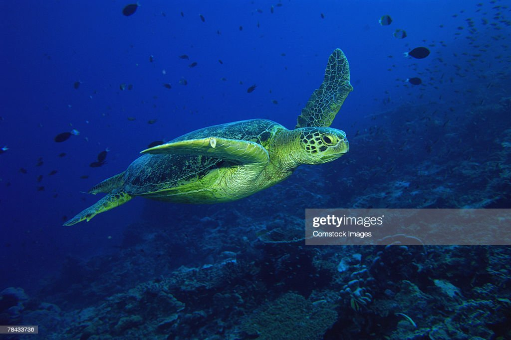 Green sea turtle : Stockfoto