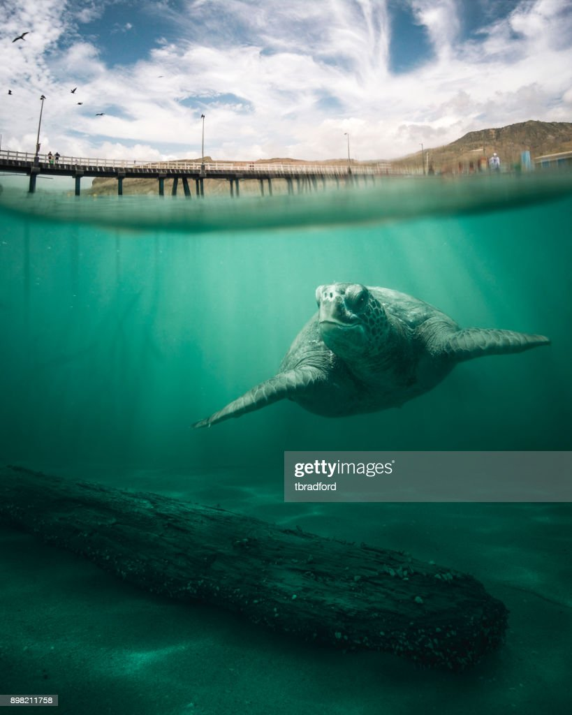 Green Sea Turtle : Stock Photo