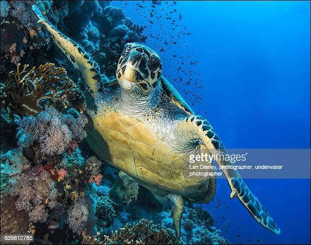 Green Sea Turtle, Red Sea