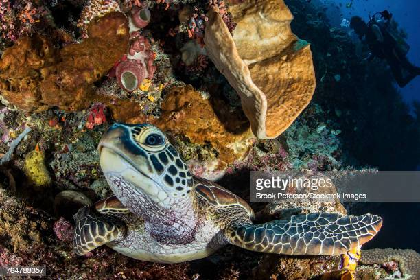 A green sea turtle rests on a ledge, North Sulawesi, Indonesia.