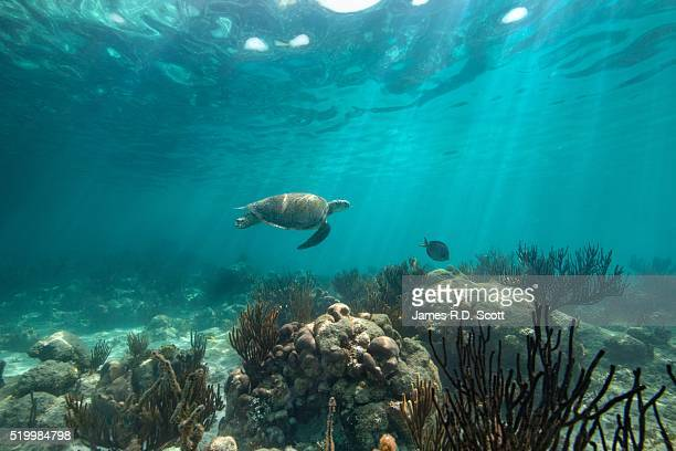 green sea turtle swimming along coral reef - reed grass family stock photos and pictures