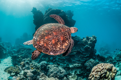 Green sea turtle swimming freely in the wild among colorful coral reef formations 1219117195