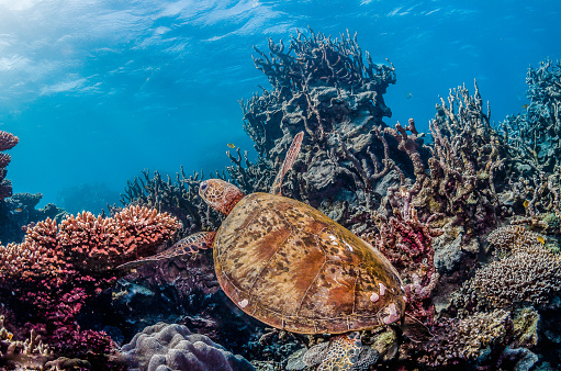 Green sea turtle swimming freely in the wild among colorful coral reef formations 1219117208