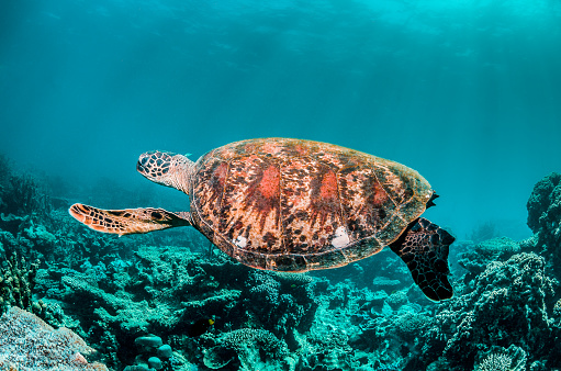 Green sea turtle swimming freely in the wild among colorful coral reef formations 1219117215