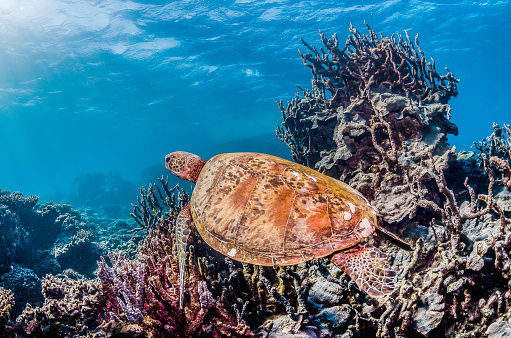 Green sea turtle swimming freely in the wild among colorful coral reef formations 1219117226