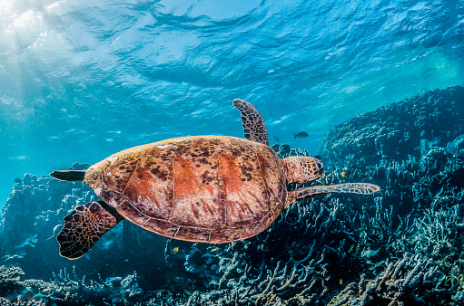 Green sea turtle swimming freely in the wild among colorful coral reef formations 1219117242