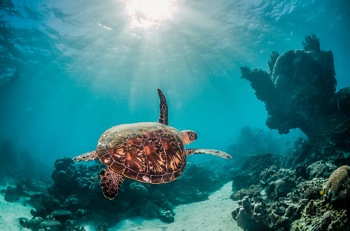 Green sea turtle swimming freely in the wild among colorful coral reef formations 1219117245