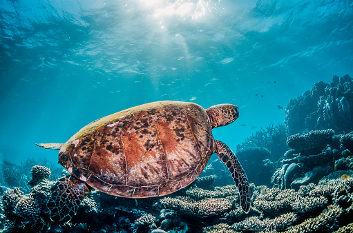 Green sea turtle swimming freely in the wild among colorful coral reef formations 1219117251